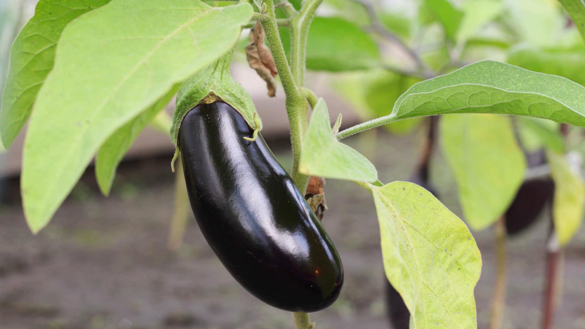 wat aubergines zo gezond maakt | stichting gezondheid